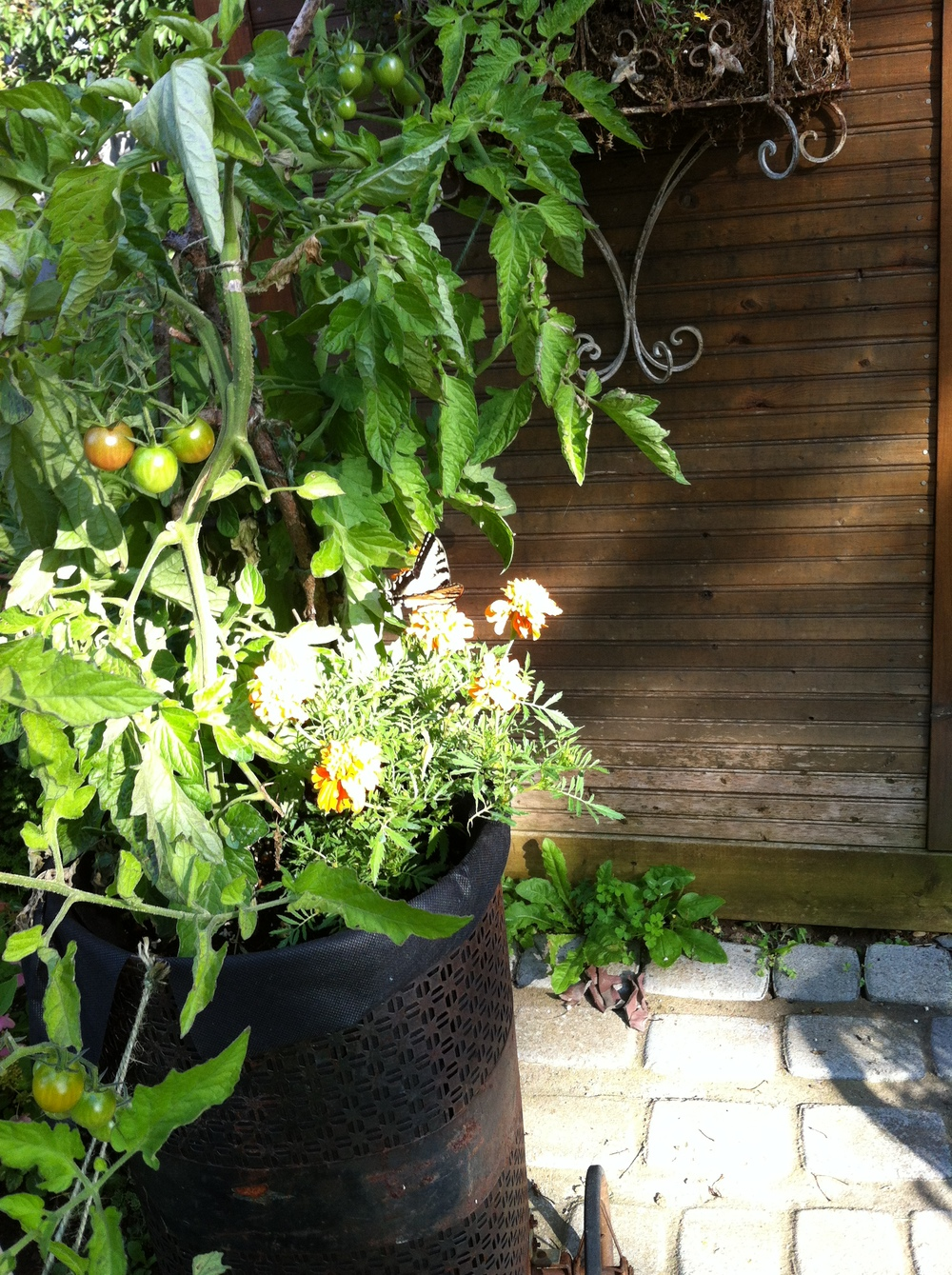 You can grow veggies in a small space like a patio or balcony. And you have a lot of choice in what kind of container to use: here we have tomatoes growing in an antique wheeled shopping cart.