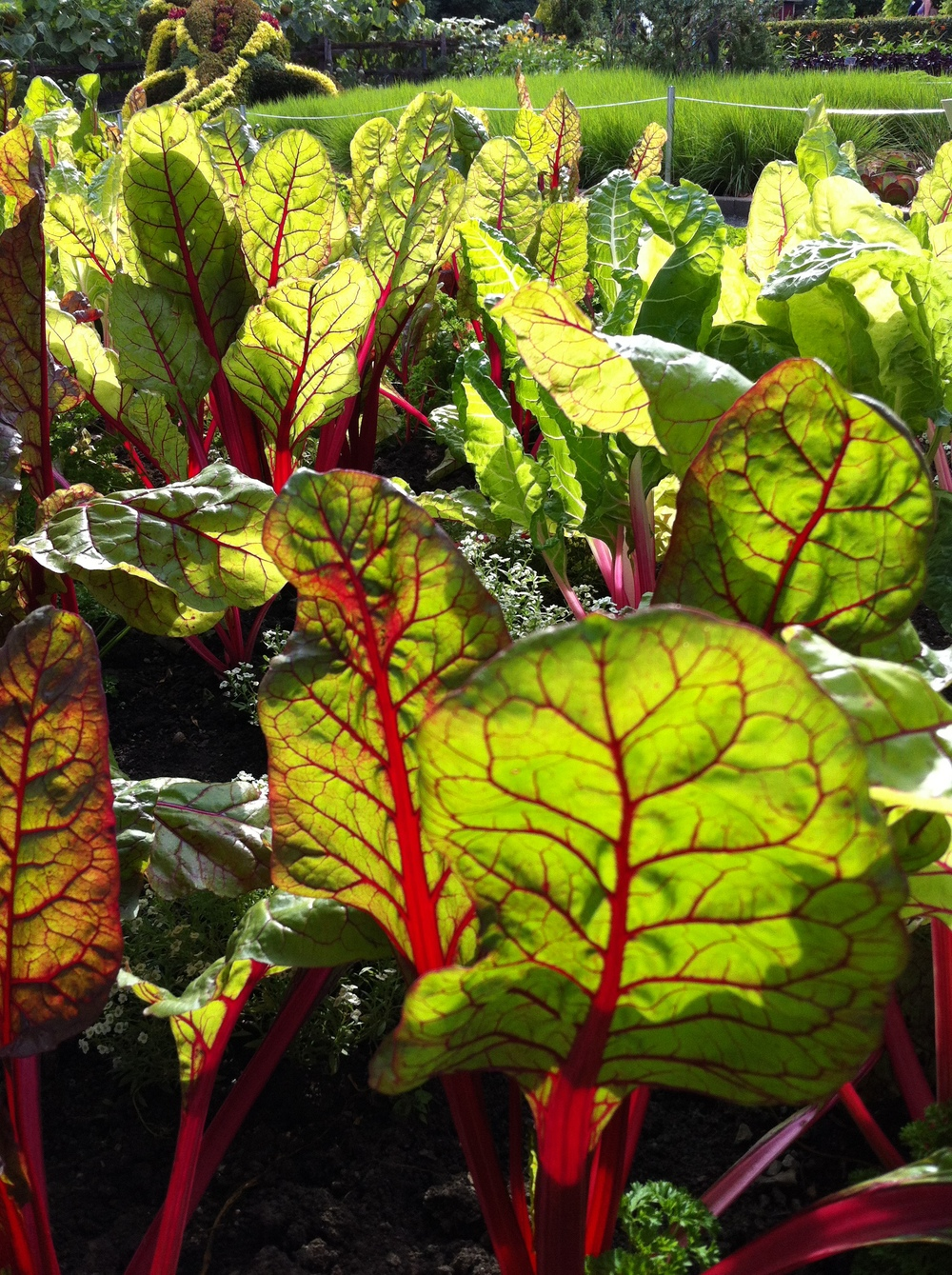 If you are short on space, you can plant veggies in garden beds, and they can look as beautiful as any other plant in your garden. Here is Swiss Chard growing in the Montreal Botanical Garden.