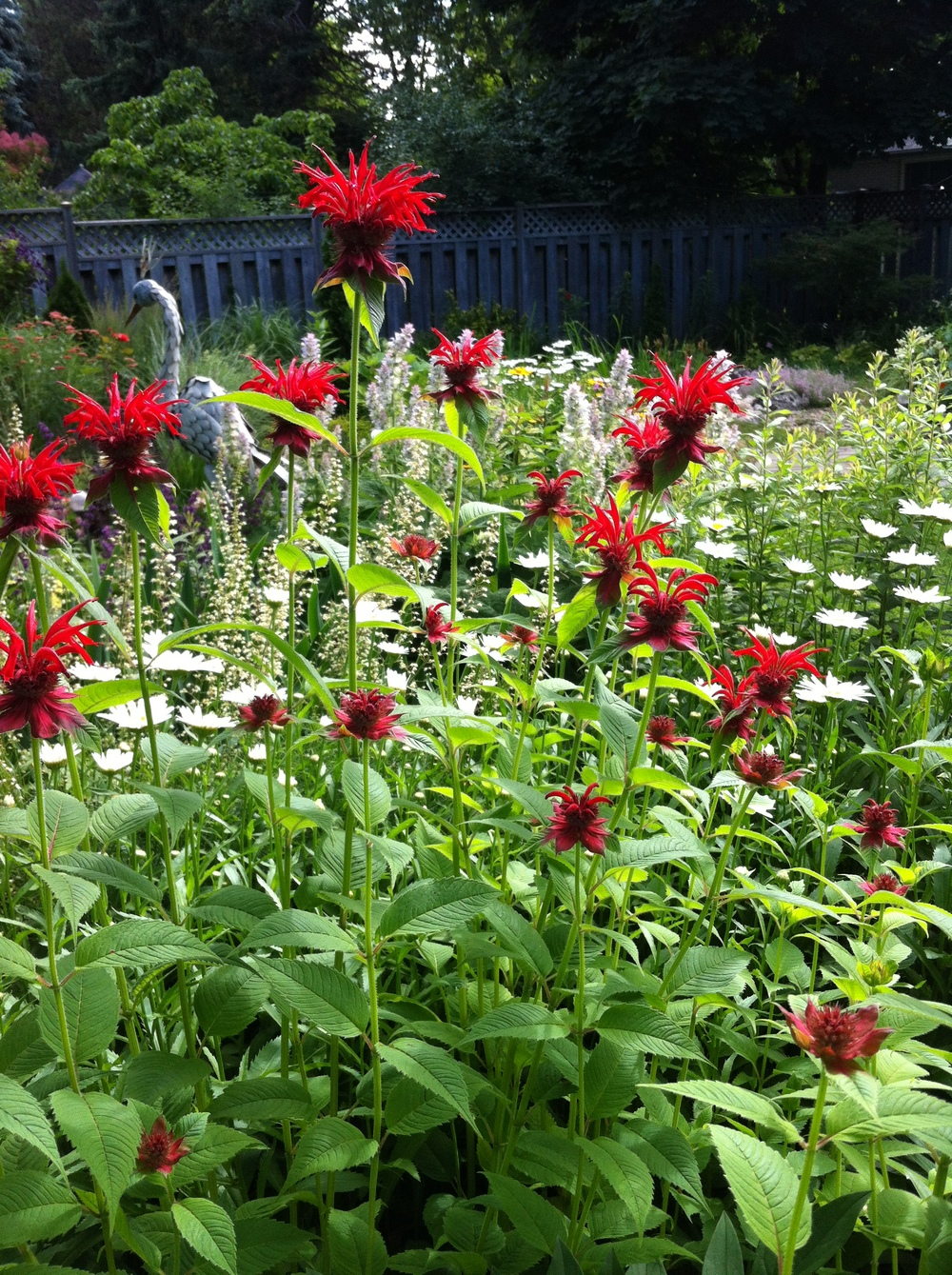 To attract bees and butterflies to your garden, plant some of their favourites, like this red bee balm (Monarda didyma)