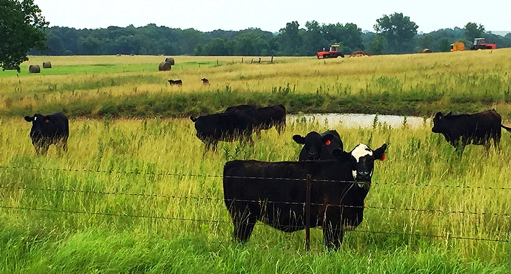 Black Angus country.