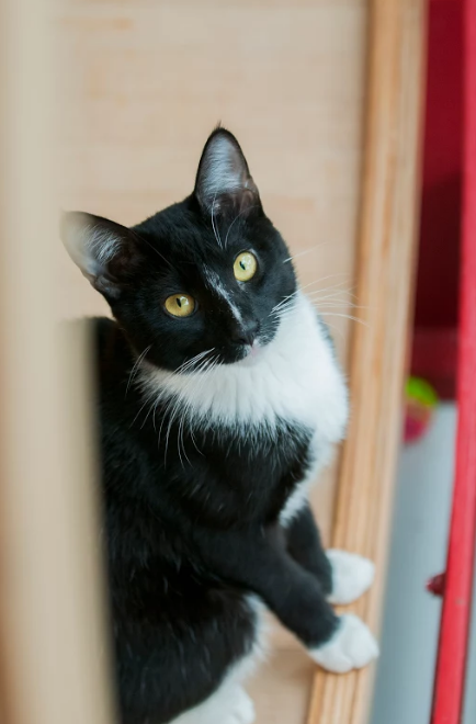 "Burger (Male) - Resident Birthday: June 2016 Purr-sonality Traits:  Playful, Adventurous, Curious, Confident, Loving. Bio: Burger is a handsome boy in his tuxedo. He's energetic and active, zooming from one end of the lounge to the other, chasing bubbles, or wrestling with his ""lil sis"", Blinx. In his mellow moments, he loves to sleep on the hanging chair. Burger is Purrresident of the KitTea Kitty Welcoming Committee - he is always first to calmly say hello to the new arrivals and let them know it is all going to be okay! His Past: May originally be from Stockton, CA."