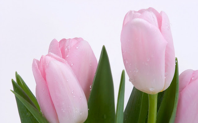Pink-Tulips+-wallpaper.jpg