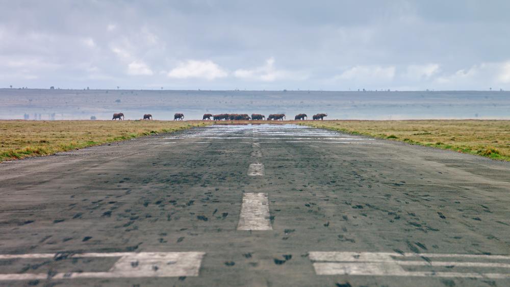 Elephants crossing runway in Kenya, Africa.