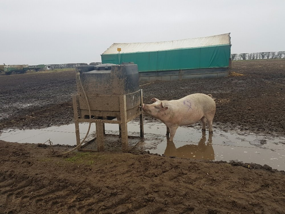 Sow drinking from our 500l Anti-bac tank