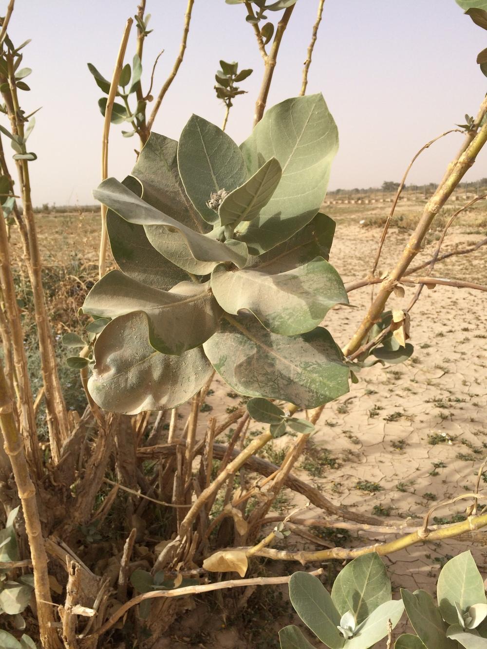 Jeszcze jedna charakterystyczna roślinka