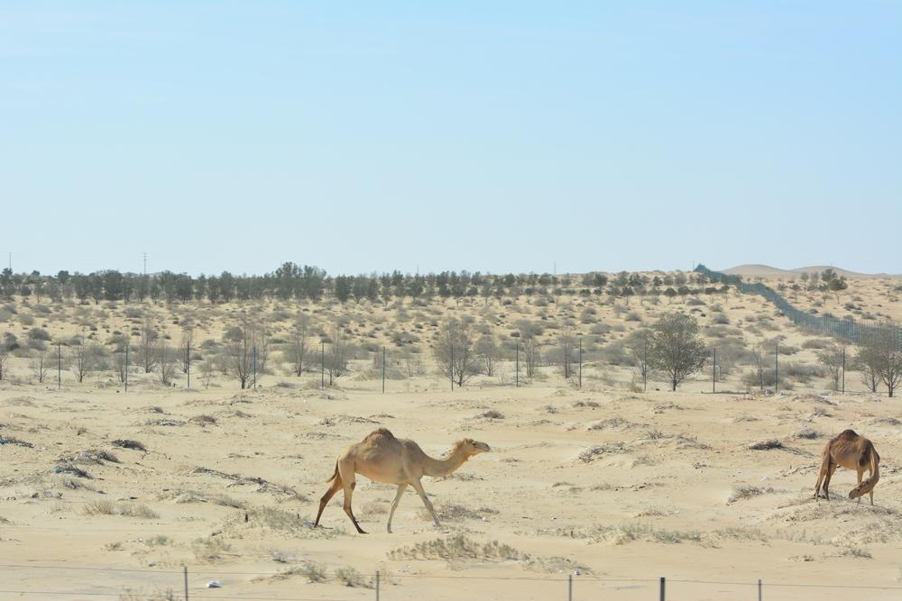 Bardzo częsty widok. Całe stada wielbłądów wypasające się na spieczonymsłońcem terenie
