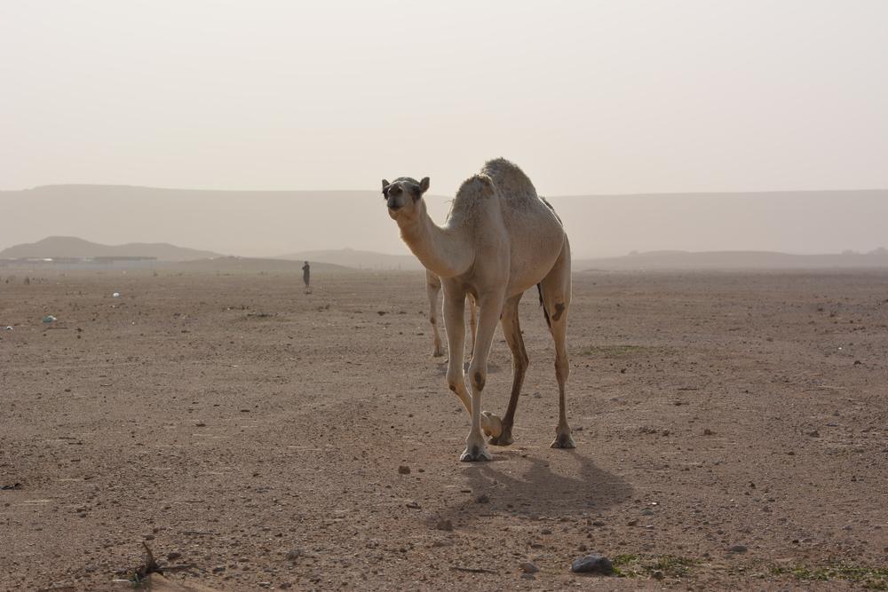 Wielbłądy na pustyni o tej porze roku to częsty widok
