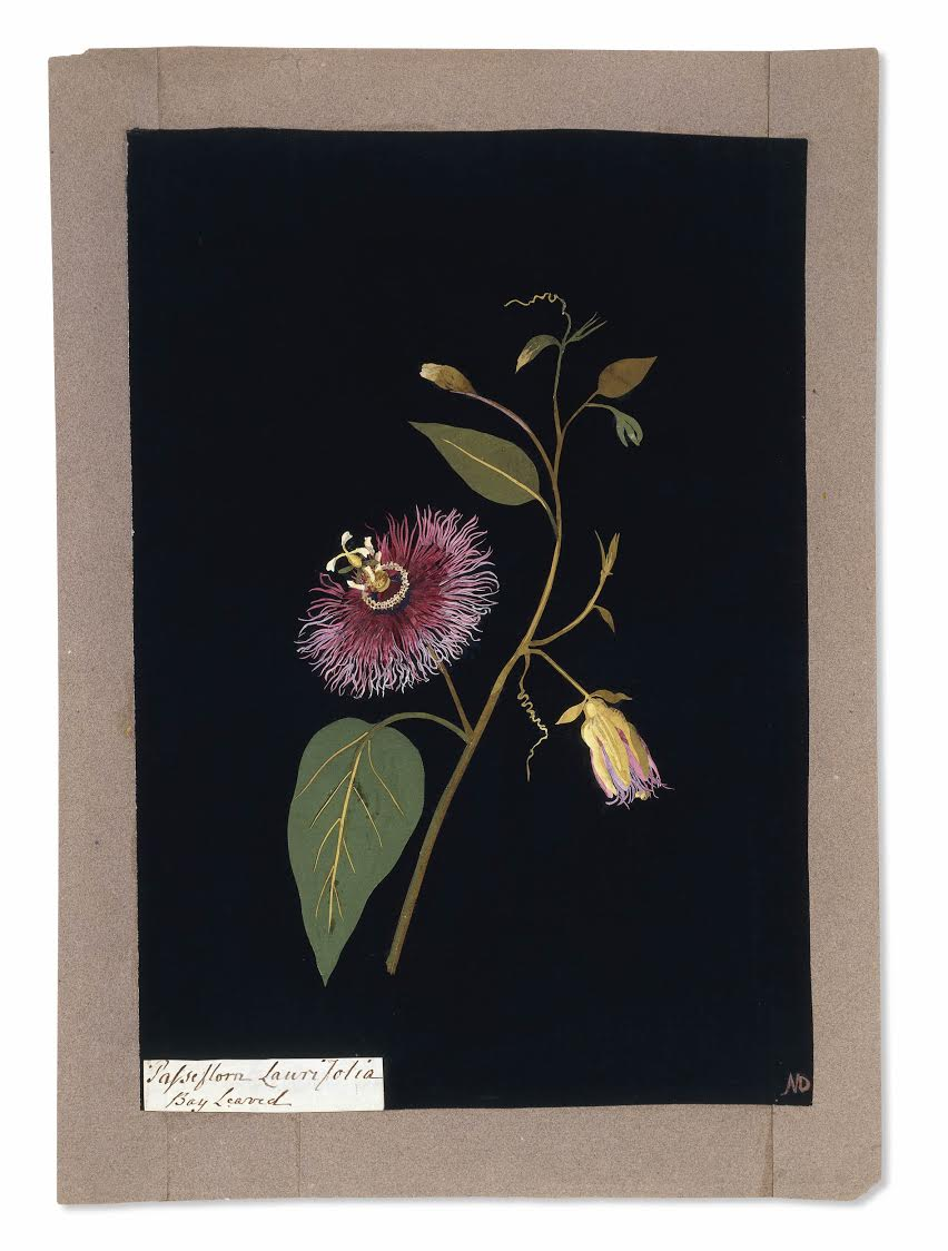 British Museum Highlights .  Passiflora laurifolia: bay leaved , a paper collage with over 230 paper petals in the bloom...