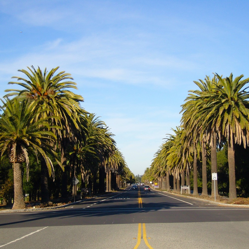 Palm Drive at Stanford University...