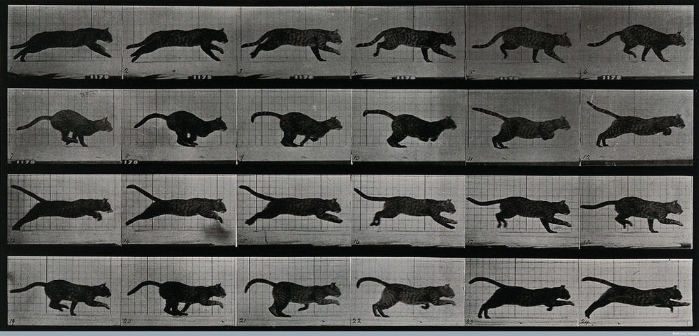 Eadweard Muybridge. A cat running.