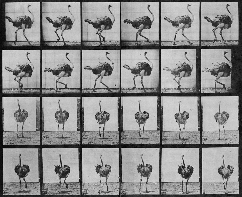 Eadweard Muybridge. Ostrich  running.