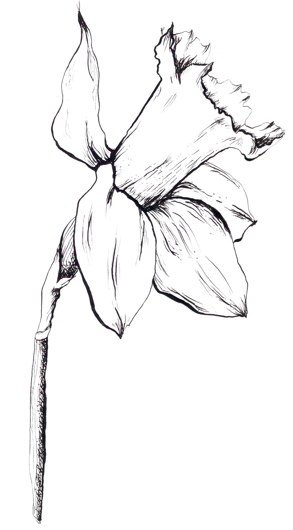 daffodilink.jpg