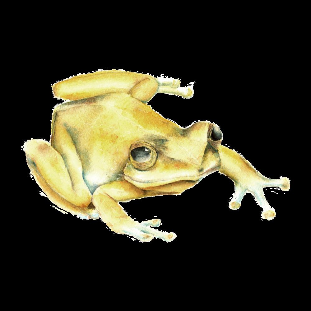 Puerto Rico Coqui Frog