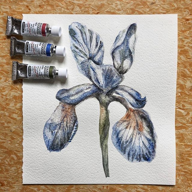 Painted this with #schmincke 's limited edition semiprecious stone watercolors. #lapislazuli #redopalite #greenporphyry #watercolor #botanicalillustration #iris #blue #flower