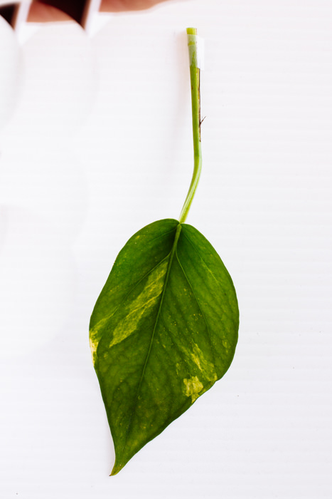 Philodendron_(4_of_127).jpg
