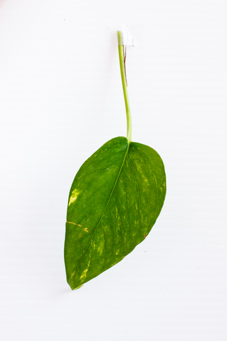 Philodendron_(5_of_127).jpg