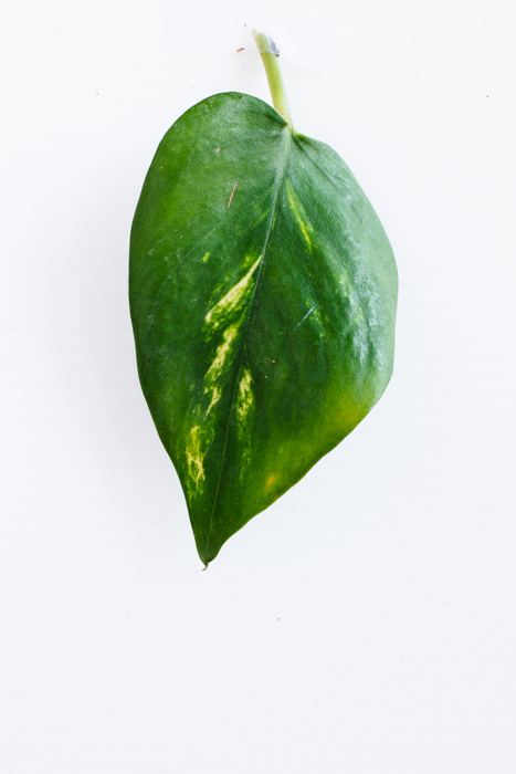 Philodendron_(8_of_127).jpg