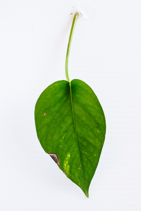 Philodendron_(14_of_127).jpg