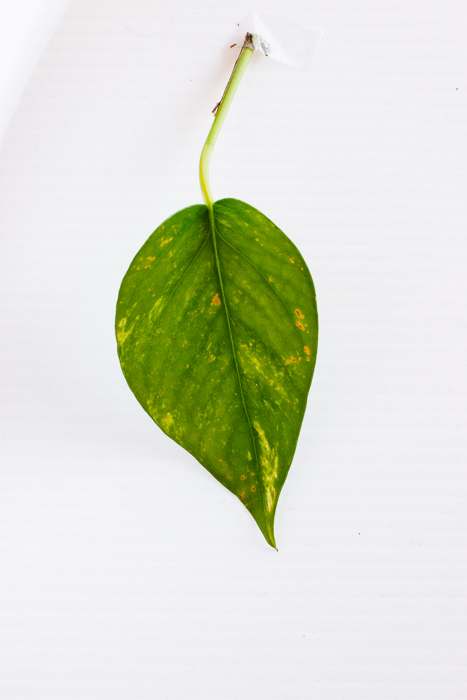 Philodendron_(22_of_127).jpg