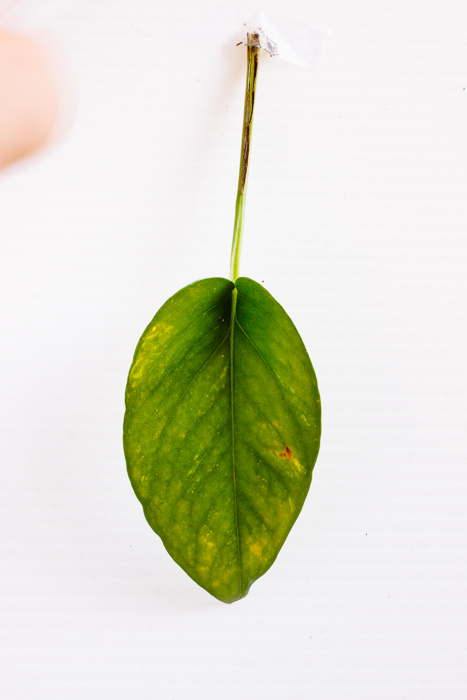 Philodendron_(35_of_127).jpg