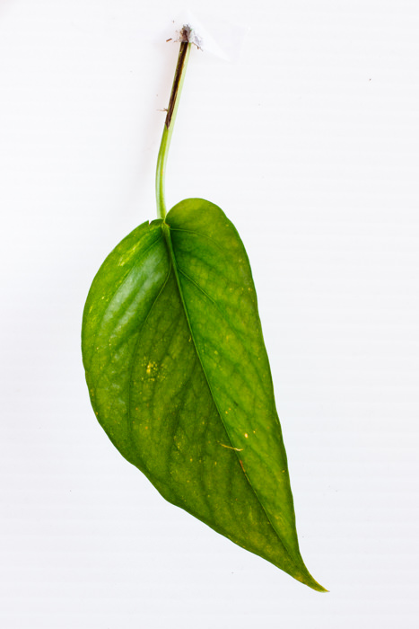 Philodendron_(36_of_127).jpg