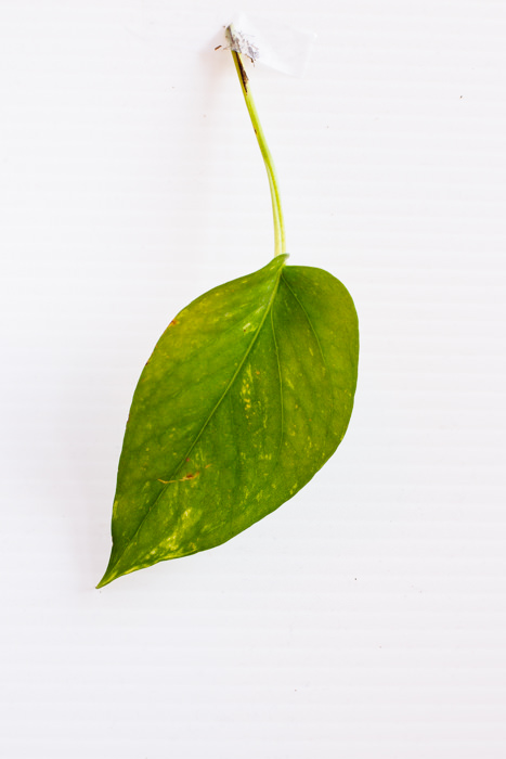 Philodendron_(37_of_127).jpg