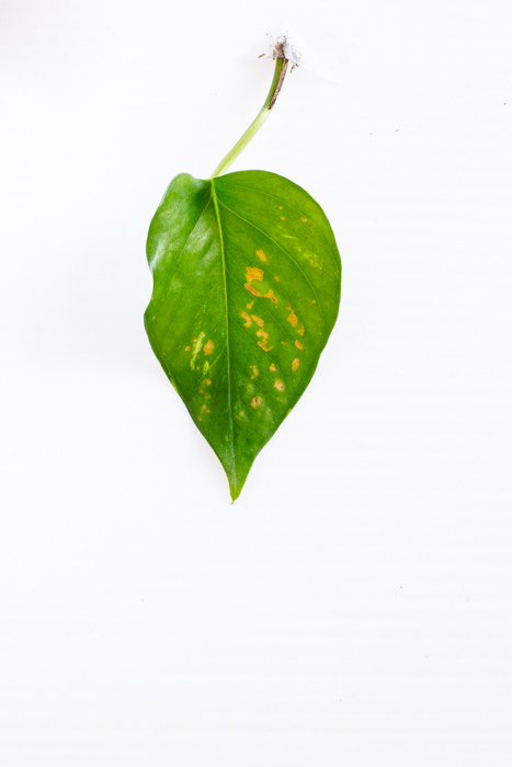 Philodendron_(42_of_127).jpg
