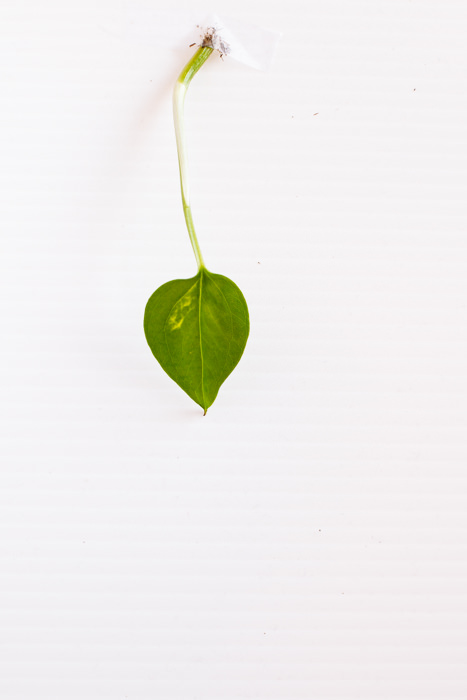 Philodendron_(44_of_127).jpg