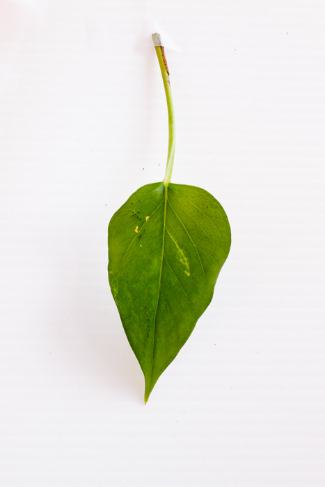 Philodendron_(51_of_127).jpg