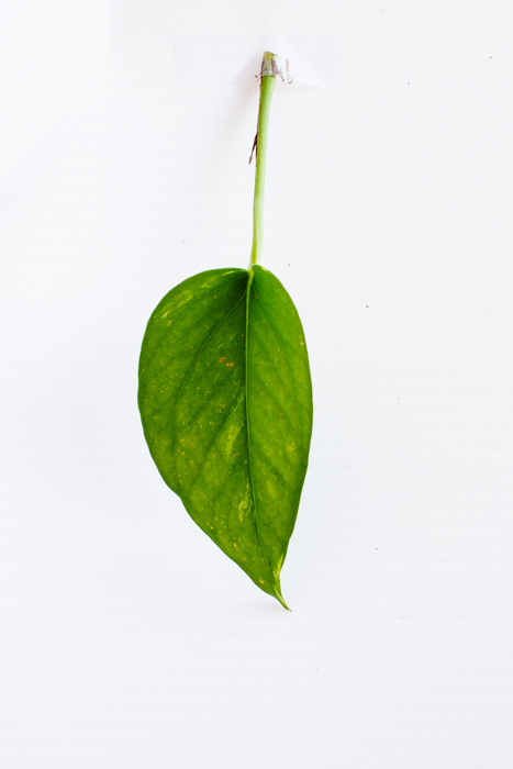 Philodendron_(59_of_127).jpg