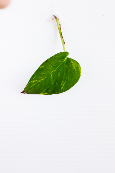 Philodendron_(65_of_127).jpg