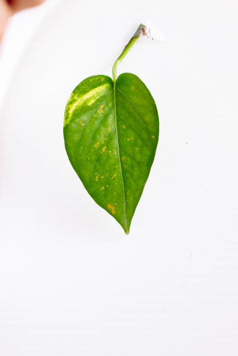 Philodendron_(68_of_127).jpg