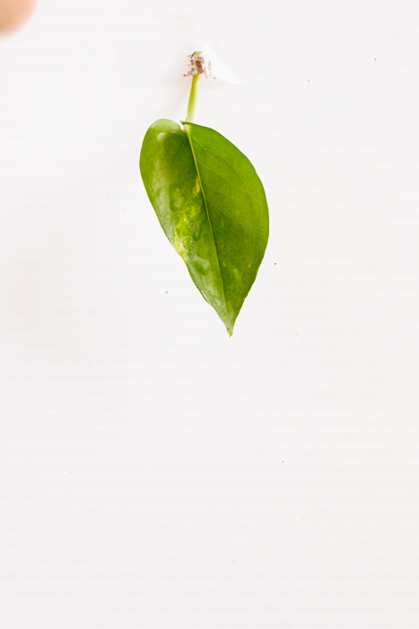 Philodendron_(76_of_127).jpg