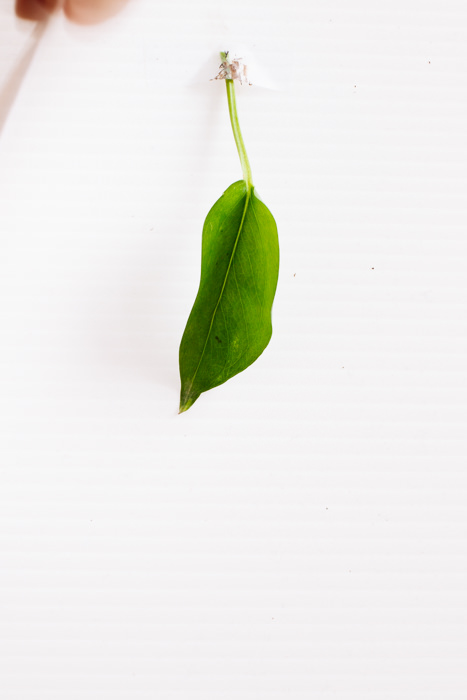 Philodendron_(83_of_127).jpg