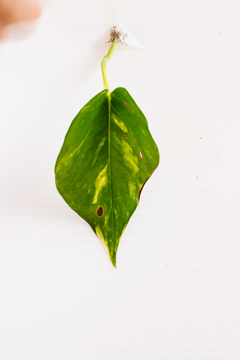 Philodendron_(106_of_127).jpg