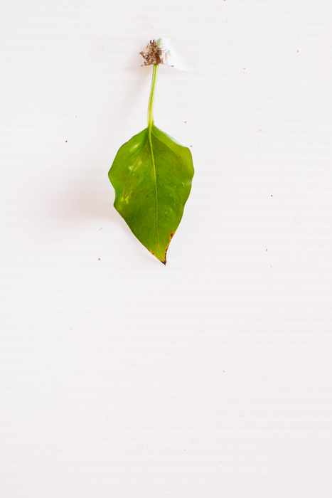 Philodendron_(122_of_127).jpg