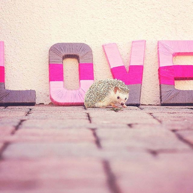 Throwback to #ValentinesDay a couple years ago, spent photographing this little cutie!  #throwbackthursday #hedgiesofinstagram #hedgehog #love #bemine