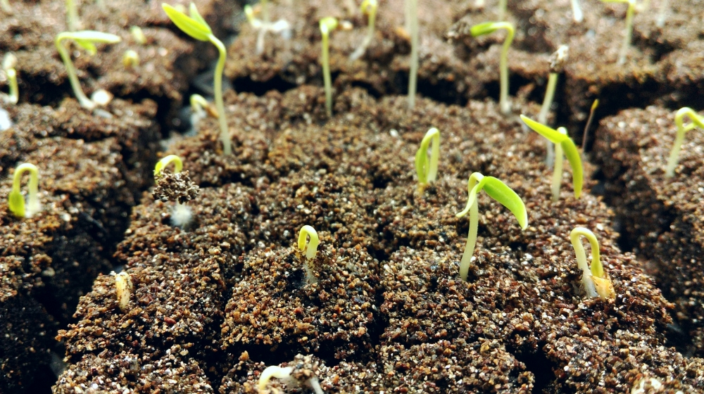 Carmen pepper seedlings - just a few days old!