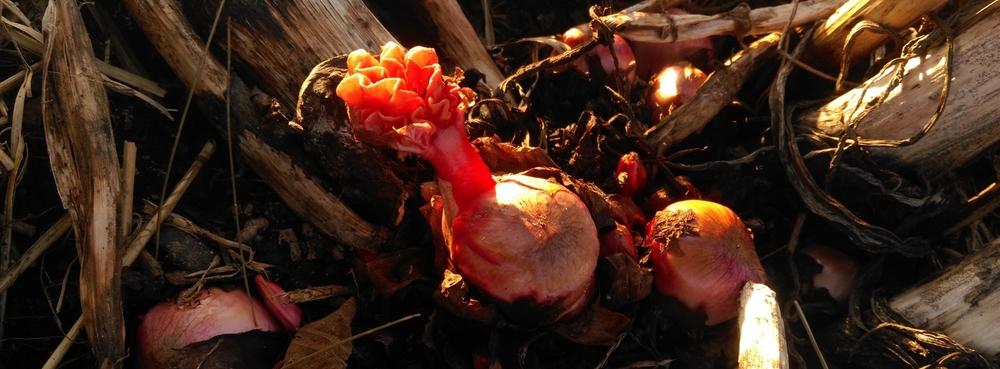 Rhubarb shoots!
