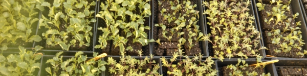 Soil blocks of kale ready to be transplanted.