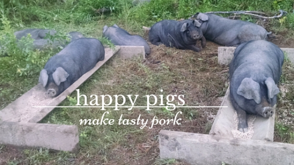 happy pigs.jpg