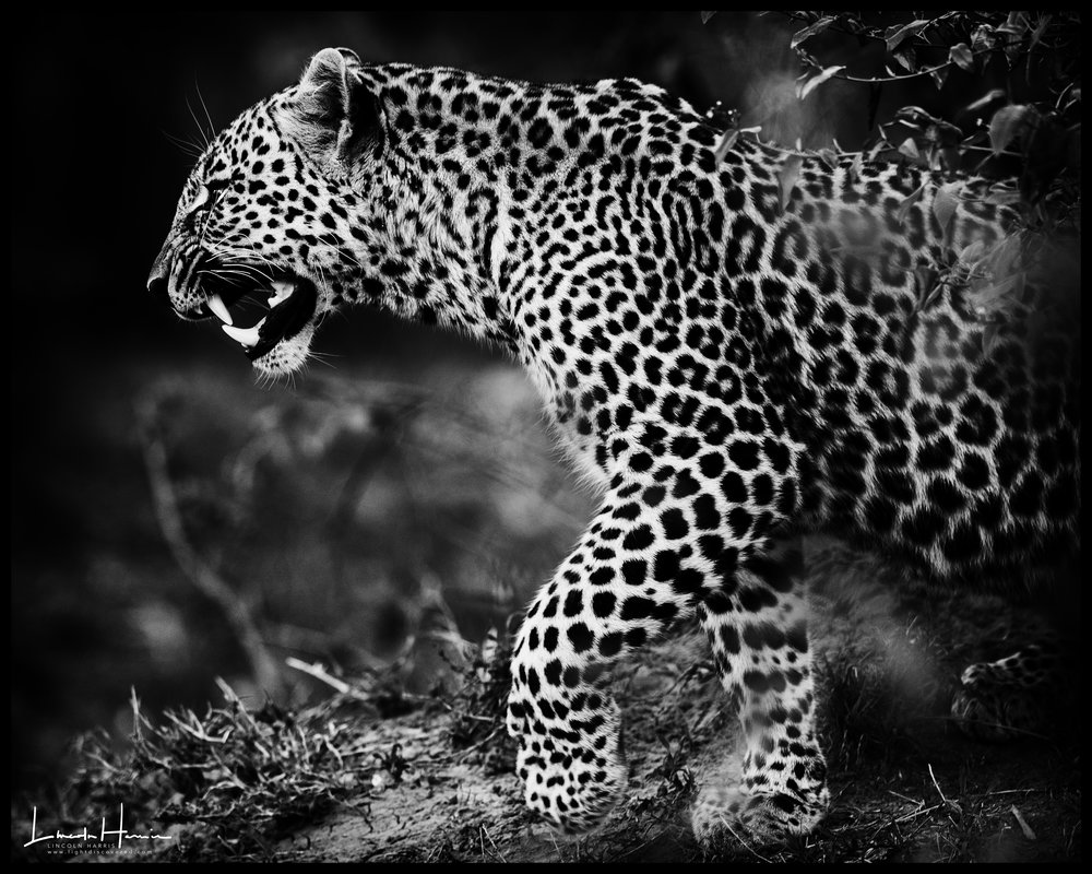 Leopard on the Prowl in the Maasai Mara  '17