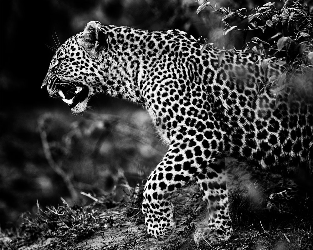 Leopard on the prowl.jpg