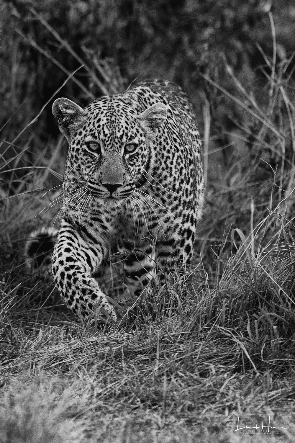 Leopard stalking head to the right 2x3.jpg
