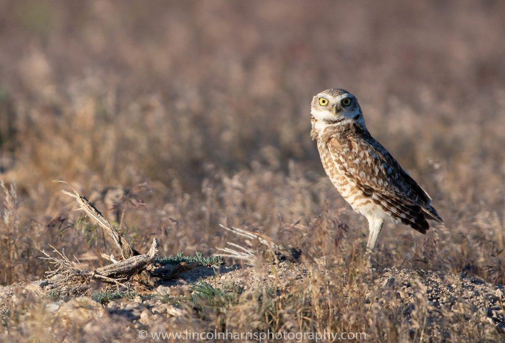 Burrow Owl on Alert