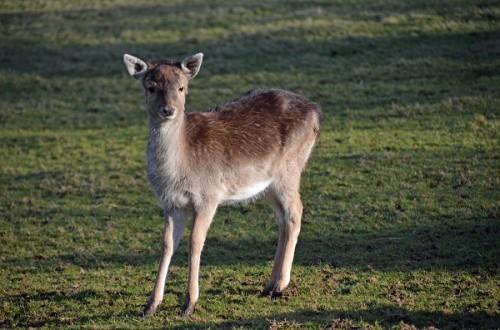 Deer sml