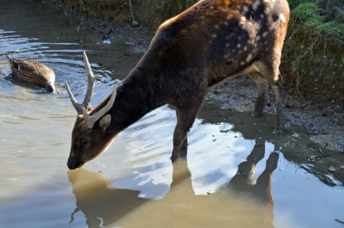Drinking-Deer