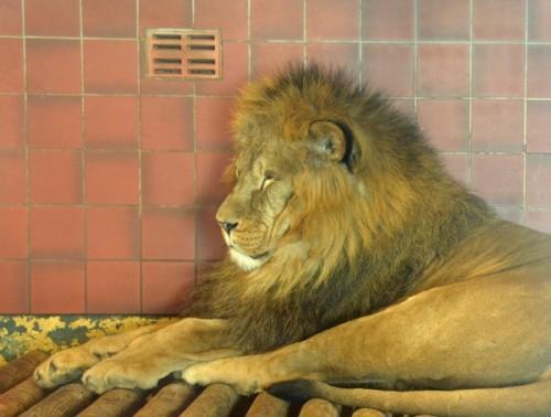 Lion sml