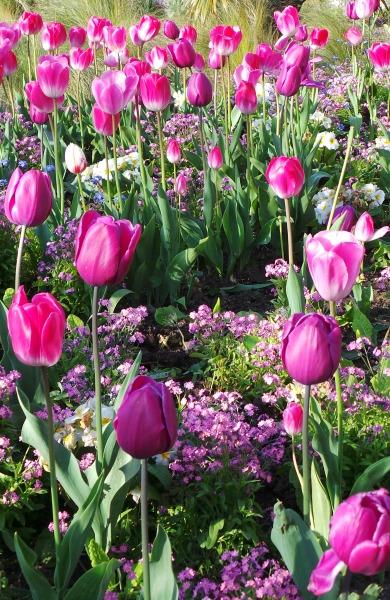 Lewes Tulips