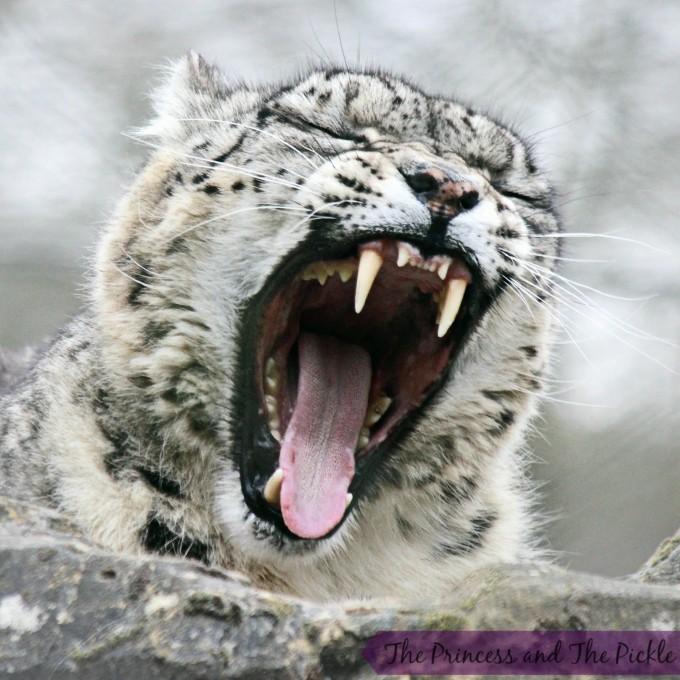 snow leopard yawn
